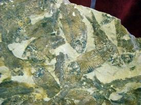 GOSIUTICHTHYS PARVUS FOSSIL FISH