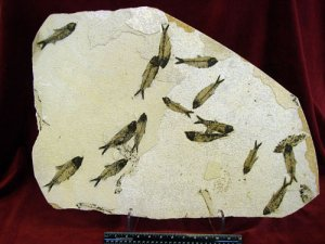 KNIGHTIA FOSSIL FISH #MM23 MASS MORTALITY.
