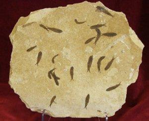 KNIGHTIA FOSSIL FISH #MM25 MASS MORTALITY.