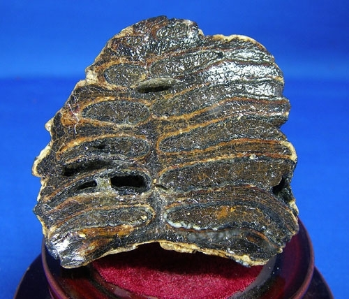 MAMMOTH MOLAR TOOTH FROM BABY MAMMOTH-B2 | STRICTLY MINERALS COM