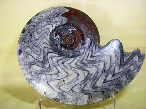 Image result for goniatite vs ammonite