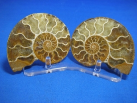 AMMONITE PAIR STAND - 4.5