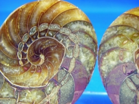 AMMONITE CUT AND POLISHED HALVES #125
