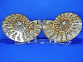 AMMONITE CUT AND POLISHED HALVES #130