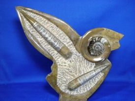 AMMONITE-ORTHOCERAS DISPLAY #AO2