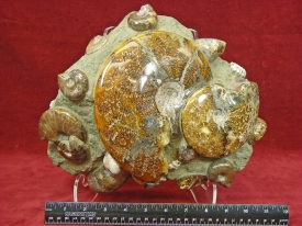 AMMONITE DISPLAY -SEABOTTOM #2