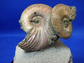 RUSSIAN PYRITE AMMONITE DISPLAY #12