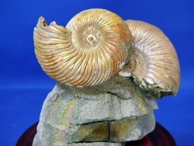 AMMONITE DISPLAY #25