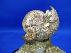 AMMONITE DISPLAY #26