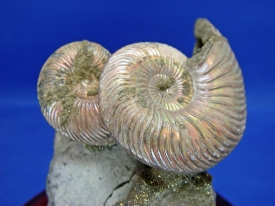 AMMONITE DISPLAY #28