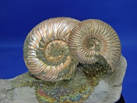 AMMONITE DISPLAY #32