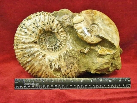 AMMONITE DISPLAY -SEABOTTOM #9