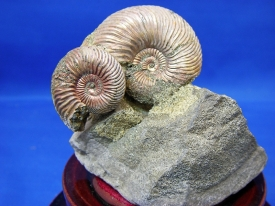 AMMONITE DISPLAY #14