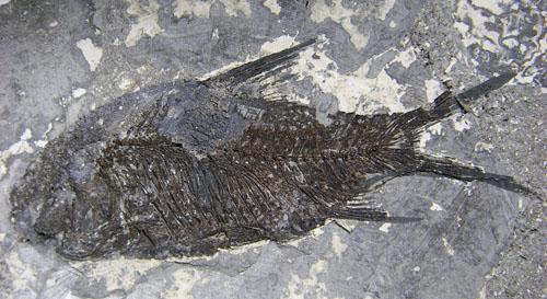 JIANGANICTHYS FOSSIL FISH #13