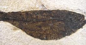 FOSSIL FISH DIPLOMYSTUS DENTATUS #D6