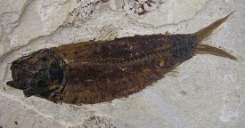FOSSIL FISH DIPLOMYSTUS DENTATUS #D7A