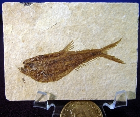 FOSSIL FISH DIPLOMYSTUS #FFW2