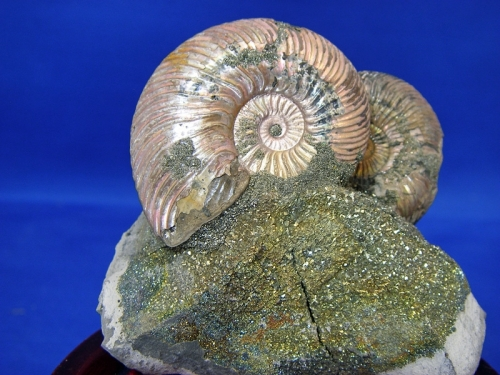 AMMONITE DISPLAY #17