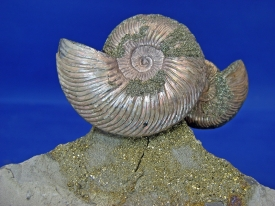 AMMONITE DISPLAY #18