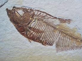 FOSSIL FISH DIPLOMYSTUS #GRF10