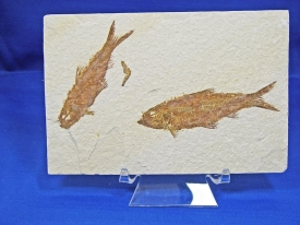 FOSSIL FISH KNIGHTIA #GRF12