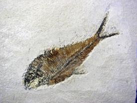 FOSSIL FISH DIPLOMYSTUS DENTATUS #18