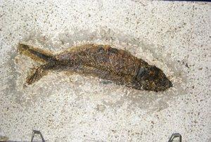 KNIGHTIA EOCAENA FOSSIL FISH #28