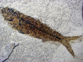 FOSSIL FISH MIOPLOSUS LABRACOIDES #7
