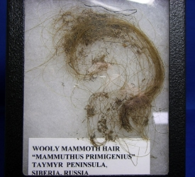 WOOLLY MAMMOTH HAIR-8