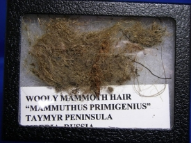 WOOLLY MAMMOTH HAIR-11