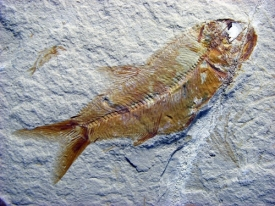 FOSSIL FISH #LEB4 FROM LEBANON