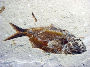 LEBANESE FOSSIL FISH #LEB3