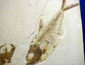 KNIGHTIA FOSSIL FISH #15